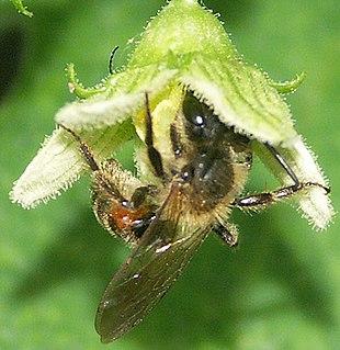 Andrena florea è un apoideo oligolettico che si nutre solo di polline di Bryonia spp. (nella foto un maschio su Bryonia dioica)