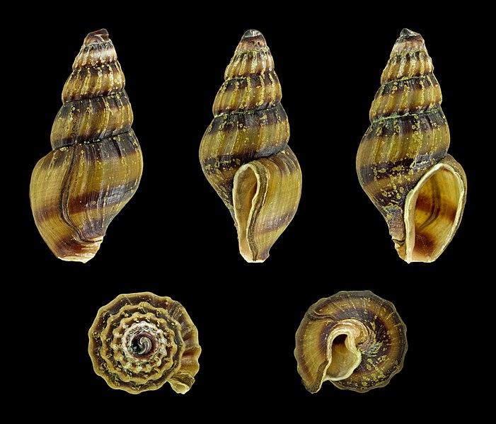Assassin Snail shells.