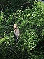 Anhinga anhinga Pato aguja americano Anhinga (6545555801).jpg