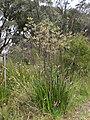 Anigozanthos flavidus Albany 3.jpg