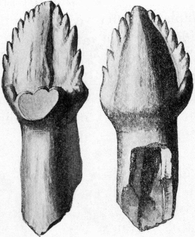 Ankylosaurus tooth