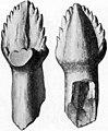 Ankylosaurus tooth.jpg