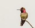 Anna's Hummingbird (m) (39583395995).jpg