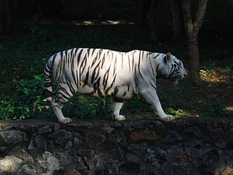 Flora and fauna of Chennai - White tiger at Anna Zoological Park