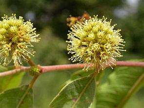 Blütenstand von Anogeissus leiocarpa
