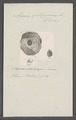 Anomia ephippium - - Print - Iconographia Zoologica - Special Collections University of Amsterdam - UBAINV0274 074 06 0002.tif