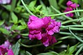 Antirrhinum majus Solstice Lavender 0zz.jpg