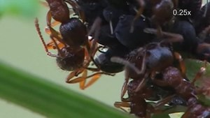 File:Ants and aphids.ogv