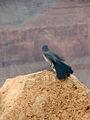 Aphelocoma woodhouseii Grand Canyon 4.jpg
