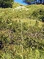 Apiaceae - Laserpitium latifolium-1.JPG