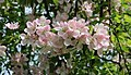 Apple-tree blossoms 2017 G5.jpg