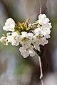 Apple Blossoms - panoramio.jpg