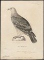 Aquila imperialis - 1700-1880 - Print - Iconographia Zoologica - Special Collections University of Amsterdam - UBA01 IZ18100185.tif
