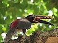AraçariCastanho Transpantaneira Pantanal Poconé MT 2.jpg