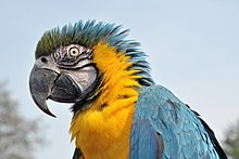 Ara Bleu Wikipedia