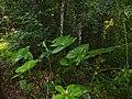 Araceae (Alocasia sp.) (15660763492).jpg