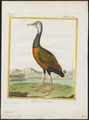 Aramides cayanea - 1700-1880 - Print - Iconographia Zoologica - Special Collections University of Amsterdam - UBA01 IZ17500039.tif