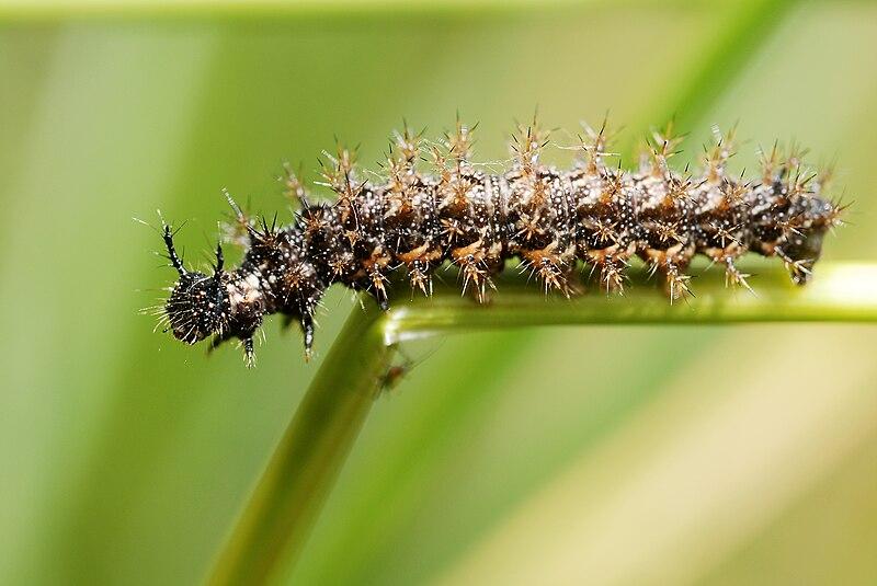 Bộ sưu tập cánh vẩy 6 - Page 9 800px-Araschnia_levana_caterpillar
