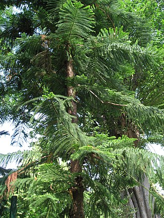 Araucaria columnaris - Araucaria columnaris foliage in New Caledonia