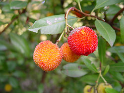 Arbutus sp. fruit.jpg