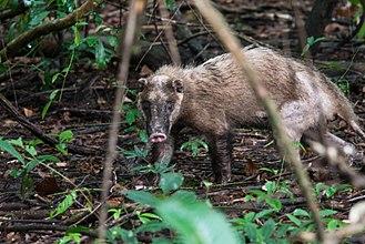 Hog badger - Arctonyx collaris in Huai Kha Khaeng Wildlife Sanctuary, Thailand.