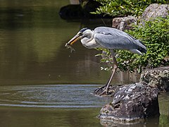 240px ardea cinerea (grey heron) eating fish