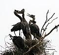 Ardea herodias at the nest 14.jpg