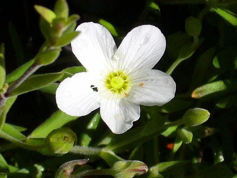 File:Arenaria montana EnfoqueFlor 2011-5-07 SierraMadrona.jpg