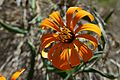 Argentina - Frey climbing 78 - wildflowers (6962211661).jpg