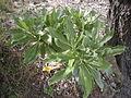Argusia argentea (Heliotropium foertherianum) bush.jpg