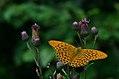 Argynnis paphia (36674698332).jpg
