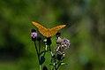 Argynnis paphia - Araschnia levana (35733531214).jpg