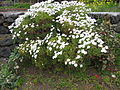 Argyranthemum frutescens (Habitus).jpg