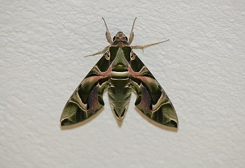 Army moth or Daphniis nerii 3.jpg