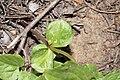 Arnica latifolia 7426.JPG