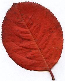 Семена Арония (Aronia melanocarpa)