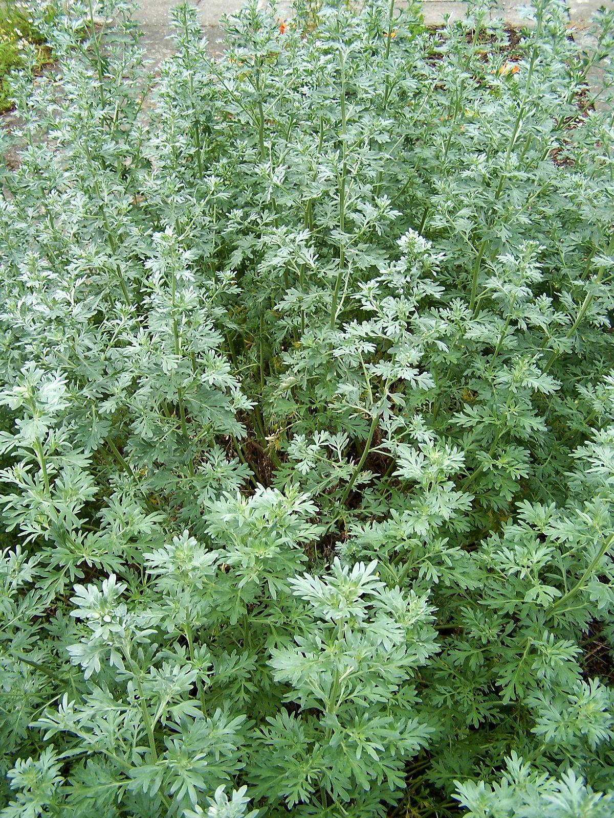 Artemisia absinthium wikipedia for Pianta con la c