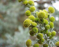 Artemisia arborescens 12052004 Var 2