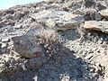 Artemisia pedatifida (5042133968).jpg