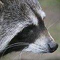 Artis Raccoon (36241903025).jpg