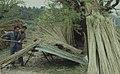 Arundo donax. Peeling & splitting cane for vine trellis 1964 (24441915678).jpg