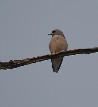 Woodswallow - Image: Ashy Woodswallow (Artamus fuscus) at Jayanti, Duars, West Bengal W IMG 5285