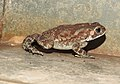 Asian Common Toad Duttaphrynus melanostictus by Dr. Raju Kasambe DSCN6557 (8).jpg