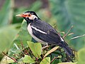 Asian Pied Starling I IMG 5520.jpg