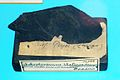Askeptosaurus italicus - Nopcsa 7.JPG