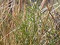 Astragalus filipes (3940171526).jpg
