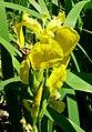 Atlas roslin pl Kosaciec żółty 8914 7204.jpg
