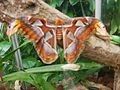 Attacus atlas-botanical-garden-of-bern 1.jpg