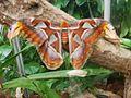 Attacus atlas-botanical-garden-of-bern 1.jpg
