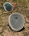 Auricularia cornea 32083.jpg